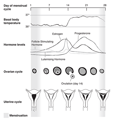 diagram of the menstrual cycle