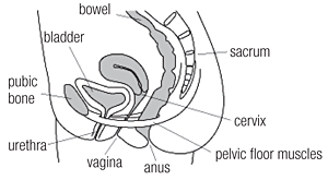 anatomy of the pelvic floor